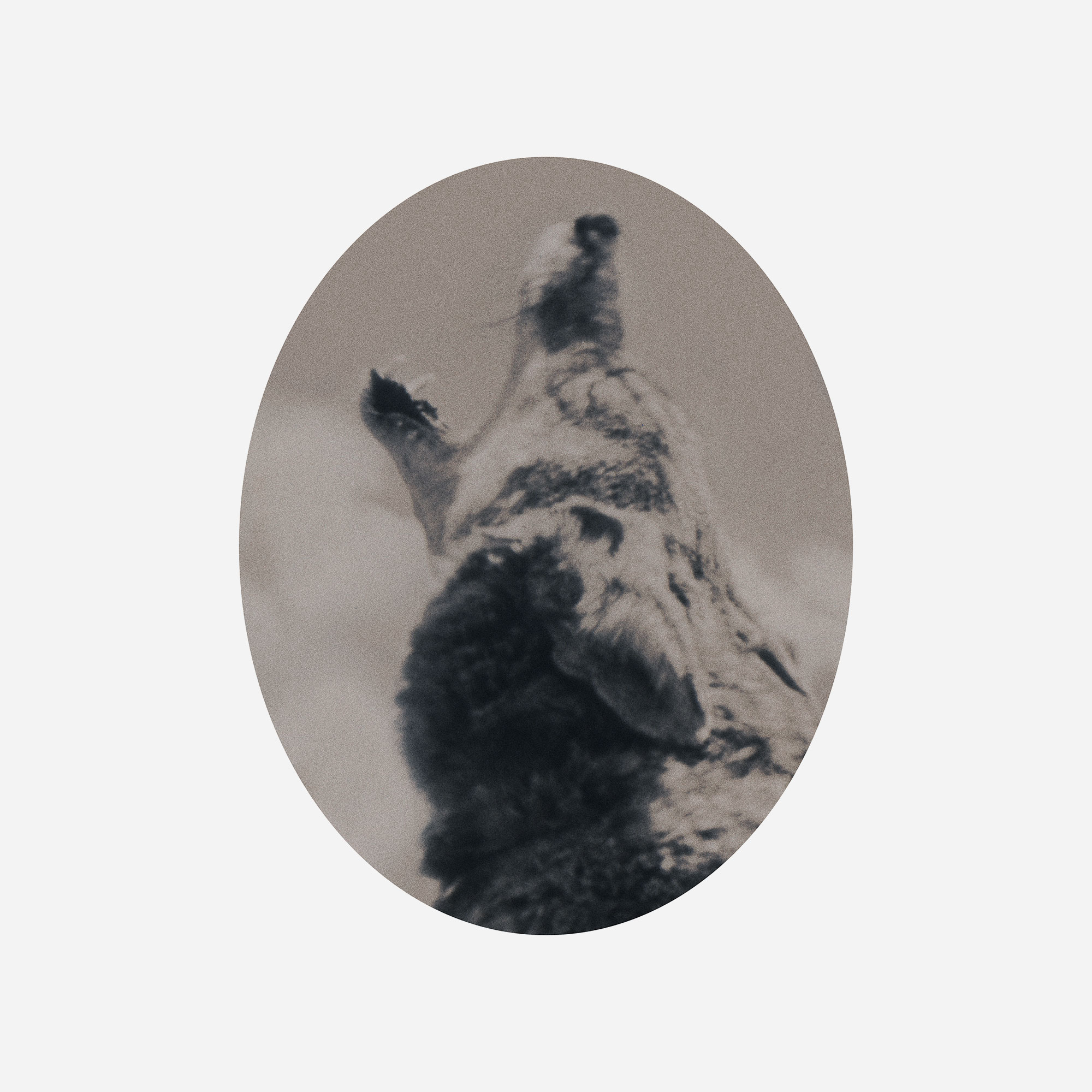 Art, Gæst No. 10, Canis lupus, 2012